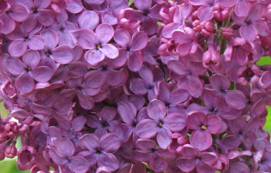 Purple Lilac (Syringa)