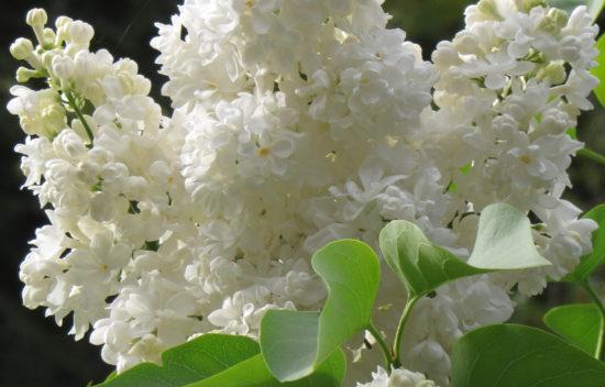 White Lilac (Syringa)