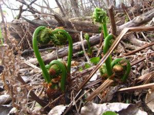 Fiddlehead ferns (Russell Steven Powell photo)