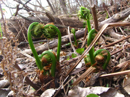 Fiddlehead ferns (Russell Steven Powell photo)