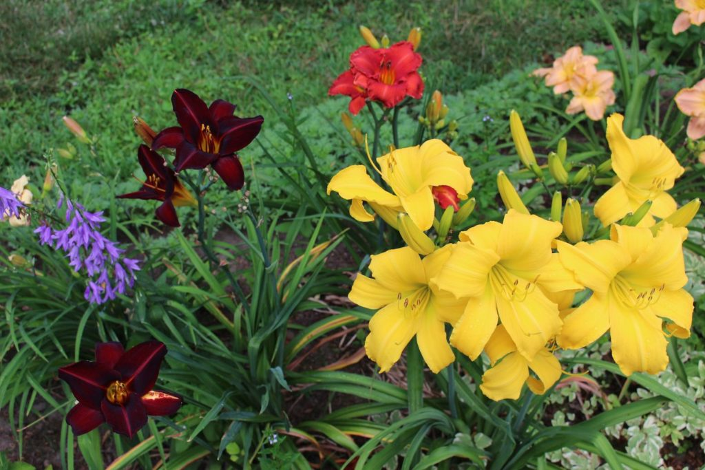 Daylilies (Russell Steven Powell photo)
