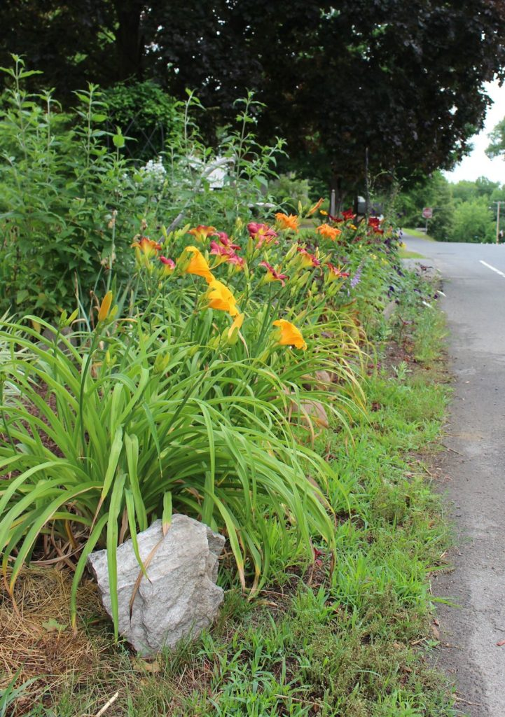 Daylilies, street view (Russell Steven Powell photo)